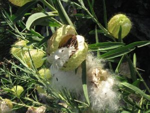 """""""Family Jewels"""" milkweed going to seed in our herb garden"""